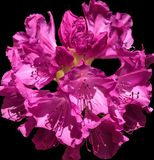 Розовый цветок Rhodendendron Стоковая Фотография RF