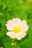 Розовый цветок Rose Стоковое Изображение RF