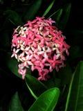 Розовый цветок Santan Стоковое Изображение RF