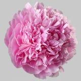 Розовый цветок Terry пиона изолировал Стоковое фото RF