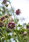 Розовый цветок Terry aquilegia на запачканной предпосылке зеленого цвета bokeh стоковое изображение