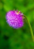 Розовый цветок thistle молока Стоковая Фотография RF