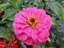 розовый цветок zinnia в саде стоковая фотография