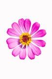 Розовый цветок Zinnia Стоковое Фото