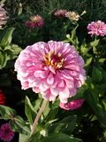 Розовый цветок Zinnia стоковое фото rf