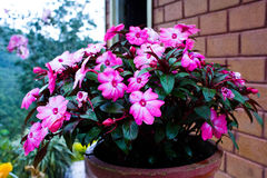 Розовый цветочный горшок Стоковое Фото