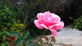 Розовый цветочный сад в Бразилии Стоковая Фотография