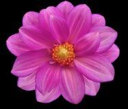 Розовый цветочный сад, чернит изолированную предпосылку с путем клиппирования closeup Стоковая Фотография