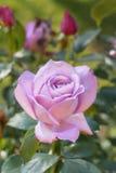 Розовый цветочный сад Стоковое фото RF
