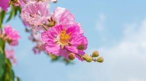 Розовый цвет цветка мирта crape ферзя. Стоковое фото RF