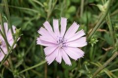 Розовый цикорий Стоковые Фото