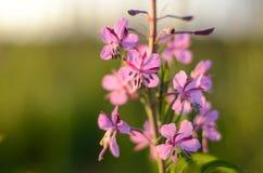 Розовый чай Иван или зацветая Салли в поле Верб-трава на заходе солнца яблоко заволакивает вал солнца природы лужка ландшафта цве стоковое изображение rf