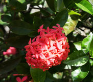 Розовый шип цветка Стоковое Изображение RF