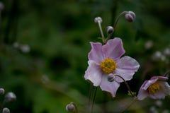 Розовый экзотический цветок с бутонами Стоковые Изображения RF