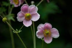 Розовый экзотический цветок с бутонами 5 Стоковое фото RF