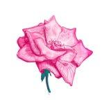 Розовый эскиз цветка Стоковое Фото