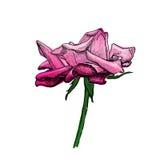 Розовый эскиз цветка Стоковое Изображение