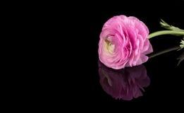 Розовый лютик изолированный на темной предпосылке Стоковые Фотографии RF