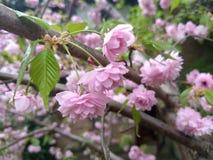 Розовый японский вишневый цвет Kanzan Стоковые Фотографии RF