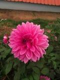 Розовый стоковые изображения