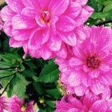 Розовый Стоковые Фото