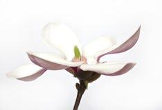 Розовый abloom цветок магнолии Стоковые Фотографии RF
