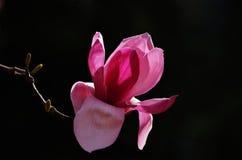 Розовый abloom цветок магнолии Стоковые Изображения