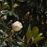 Розовый abloom цветок магнолии Стоковое Изображение RF