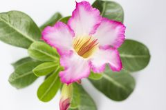 Розовый Adenium на белой предпосылке стоковая фотография