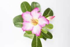 Розовый Adenium на белой предпосылке стоковое фото rf