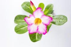 Розовый Adenium на белой предпосылке стоковое фото