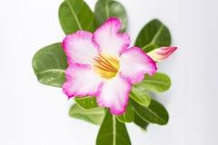 Розовый Adenium на белой предпосылке стоковые фото