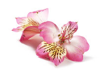 Розовый alstroemeria Стоковое Изображение RF