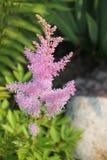 Розовый Astilbe в саде утеса стоковые изображения rf