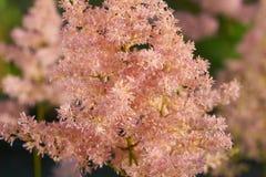 Розовый astilbe в саде Стоковая Фотография