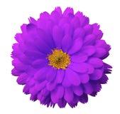 Розовый calendula цветка Предпосылка изолированная белизной с путем клиппирования Стоковое Фото