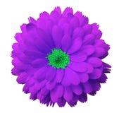 Розовый calendula цветка Предпосылка изолированная белизной с путем клиппирования Стоковые Изображения RF