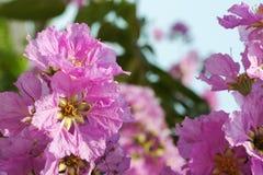 Розовый Cananga Стоковая Фотография