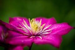 Розовый clematis с его пушистым сердцем стоковые изображения