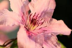 Розовый Clematis Стоковое Фото