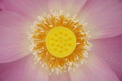 Розовый Close-up лотоса Стоковое Изображение