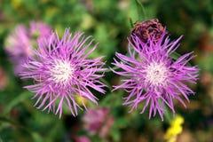 Розовый cornflower стоковое изображение rf