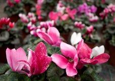 Розовый cyclamen, латинское ` sicilium ` имени стоковая фотография rf