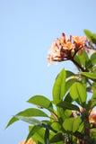 Розовый frangipani стоковое изображение