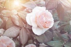 Розовый gentle розовая на кусте Стоковые Изображения RF