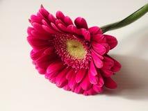 Розовый Gerbera - гибрид стоковые фотографии rf