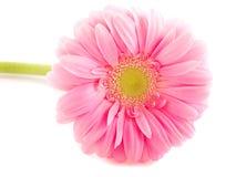 Розовый Gerbera Стоковое Изображение RF