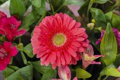 Розовый Gerbera Стоковые Изображения