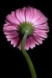Розовый Gerbera Стоковые Фото