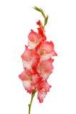Розовый gladiolus Стоковые Фото